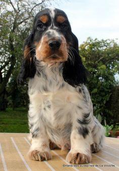Accueil - Elevage des aubépines de la Vilco - eleveur de chiens Cocker Spaniel Anglais