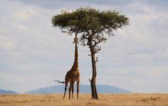 Witness Africa's best safaris through your Kenya Tanzania safari tours! Contact Kenya Tanzania Safari today for the best East African safari itineraries. Kenya Travel, Africa Travel, Beverly Hills, Video Nature, Nature Pics, Giraffe Facts, Charles Darwin, Giraffe Pictures, Giraffes