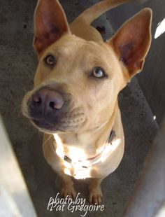 A4806218 My name is Emma. I am a very friendly 1.5 yr old female brown Chinese Sharpei mix. My owner left me here on March 7. available now Baldwin Park shelter https://www.facebook.com/photo.php?fbid=938346072843897&set=pb.100000055391837.-2207520000.1426428067.&type=3&theater