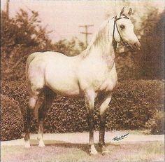 Arabian stallion - Old Crabbet line. Ferseyn, son of Raseyn.