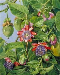 Flowers and Fruit of the Maricojas Passion Flower, Brazil - Marianne North