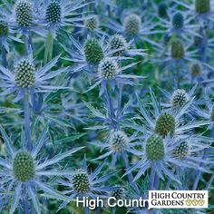 Blue and Silver Sea Holly (Eryngium) I'll have to observe since it's rated to zone 7. I planted seeds at the end of Jan.'17 & they sprouted quickly about 2-10. I'm planting them in a pot where they can stay in only morning sun. (tbb)
