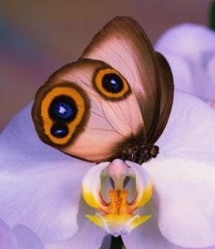 ~~Papillon Hibou soyeux (Taenaris Catops) by Leslie Crotty~~