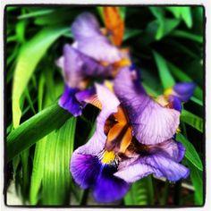 Irises - my favorite flowers