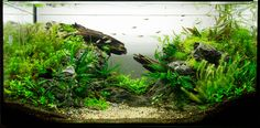 My low tech tank, The Gap, 112l — about one and half months after setup.