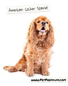 The American Cocker is a lively sporting breed that loves to play and explore. If you choose to add one of these dogs to your family, you will want to make sure that you have plenty of room for it to run. While originally bred to be an expert hunting dog, Cockers make fantastic family pets as well. These are cheerful and gentle dogs that make terrific family pets. However, they also have strong hunting instincts making them excellent hunting dogs.