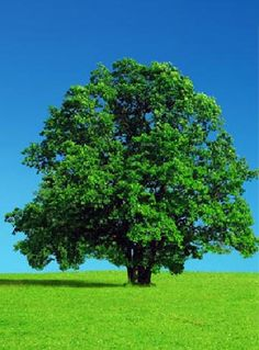 A big tree always makes me feel ok - knowing somethings been growing on it's own for a lot longer than I've been here is calming Bonsai, Iron Fey, Lone Tree, Shade Trees, Big Tree, Tree Forest, Trees To Plant, Tree Planting, Green Trees