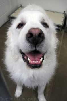 How about a big smile from Dave the Great Pyrenees to start your Monday.