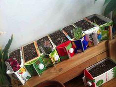 Les semis dans des briques de jus de fruits.