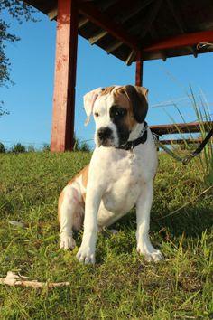 Max - American Bulldog