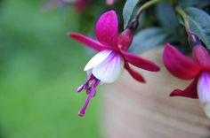 Mooi! close up van Fuchsia. Roze.