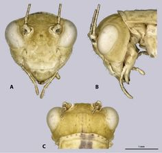 [PDF] Mantophasmatodea from the Richtersveld in South Africa with description of two new genera and species