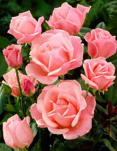 How to take rose cuttings and grow roses in potatoes.