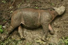 This is the first picture of Puntung I've ever found. She lost part of her left front leg in a snare trap at a young age.   http://news.mongabay.com/2013/0515-sumatran-rhino.html