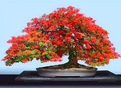 Simply Beautiful Bonsai!!