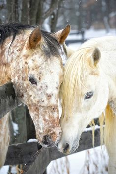 Two horses showing affection and closeness while touching, a white Arabian stallion and a spotted Appaloosa mare getting acquainted in courtship behavior, Pennsylvania, PA, USA.