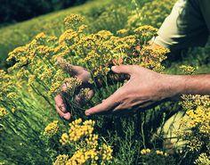 你不可不知道的永久花,相關知識,延伸 , 芳療 精油, 蠟菊是永久花的別稱,常可以在各種美容保養品的文宣中看見,因為有美白、淡斑、淡疤等功效,永久花可是保養品界的寵兒呢!   永久花以永不凋謝的姿態,陪伴人們經歷所有生命階段。永久花精油最常聽到的療效為化瘀與治療呼吸道問題,不僅可以化除身體上的傷疤,也可以除卻心靈的淤積。但是你知道永久花精油還有分品種嗎?   常見的品種分別為科西嘉永久花、以及露頭(鷹草)永久花。   科西嘉為法國的第一大島,希臘人稱這座島為Kalliste,意思是「美麗」。科西