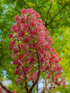 ดอกชมพูภูคา Amazing Flowers, Love Flowers, Beautiful Roses, Nice Flower, Flowering Trees, Trees And Shrubs, Blossom Flower, Flora, Thailand