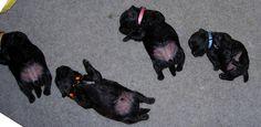 Scottie pups...puppyback by Thirsk, via Flickr