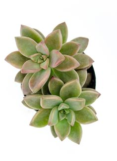 "Graptosedum 'Alpenglow' forms rosettes with beautiful pink-mauve leaves in rosettes that become somewhat bushy. The name ""Alpenglow"" refers to the reddish glow near sunrise and sunset in mountainous areas. This …"