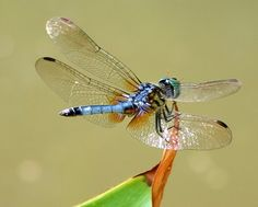 colorful pictures of dragon flies | TrekNature | Blue Dasher Dragonfly Photo