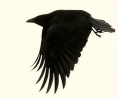 An Argument About Crows  By Ann Finkbeiner | March 9, 2011