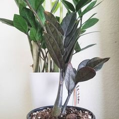 Introducing my newest houseplant to my collection the Zamioculas zamiifolia 'Raven' aka Raven ZZ Plant! She arrived yesterday March 21 2019. Baby is healthy and doing well. As you can see she sits with her sister the ZZ Plant!  #houseplanthappy #houseplant #zzplant #ravenzzplant #zzraven #indoorjungle #plantsmakepeoplehappy #plantlife #plantfamily #urbanjungle #plantlove #plants #planthoarder #houseplantclub #indoorgarden #greenliving #greenthumb #plantsmakemehappy #plantsarefriends #plantgang #