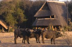 Buffalo roaming The Hide Safari Camps's grounds -- Hwange National Park -- Luxury safari lodge in Zimbabwe Unique Vacations, Victoria Falls, Wild Dogs, Vacation Places, Africa Travel, Mauritius, Safari, National Parks, Zimbabwe