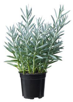 Senecio, sukkulent Mount Everest, 50th, Flowers, Plants, Plant, Royal Icing Flowers, Flower, Florals, Floral