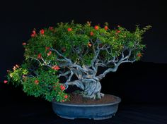 This is a special cultivar: a 90-year-old twisted trunk pomegranate in a Japanese container. When the blossoms mature the ovary begins to swell and form the uniquely shaped pomegranate fruit. Photograph by Jonathan Singer