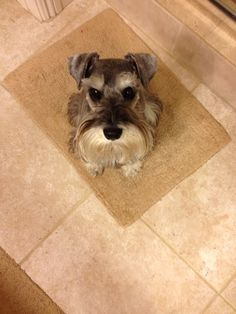 Sweet little salt and pepper mini schnauzer looking up with his adorable eyes, how can you resist those eyes? I love my mini so much****** Zackary