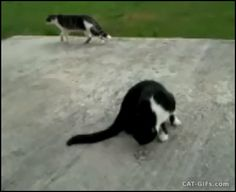 "CAT GIF • Suddenly walking Cat falls like a stone for no Apparent reason, haha! ""Hey dude, WTF? Where are you? Are you OK?"""