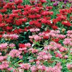 Bee Balm Mix (Monarda) You'll Love the Mint-Scented Foliage!  The richly colored flowers of bee balm are perfect for fast-growing borders. Each brilliant bloom explodes like fireworks atop the tall stems. Hummingbirds really love the big blooms.