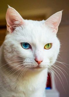 These cats are known as odd-eyed whites and are sometimes prone to deafness.