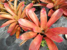 Neoregelia Susana  Half-day sun; Mature size: 16in H x 18in W