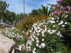 A leander tavaszi ápolása Nerium, Sardinia, Sidewalk, Flowers, Plants, Wallpaper, Side Walkway, Wallpapers, Walkway
