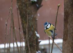 Blue tit winter