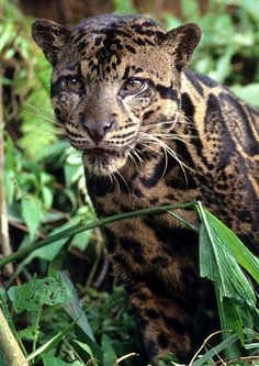 Long thought to be identical to the clouded leopards living on mainland South East Asia, genetic analysis has shown that the Bornean big cat is in fact a separate species. Its 2 inch canine teeth are the longest of any living feline and lead to comparisons with the long-extinct sabre-tooth tiger.