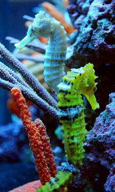 Meeting of Brazilian Seahorses! Beautiful Sea Creatures, Animals Beautiful, Cute Animals, Poisson Mandarin, Seahorse Tank, Marine Aquarium, Coral Aquarium, Life Under The Sea, Salt Water Fish