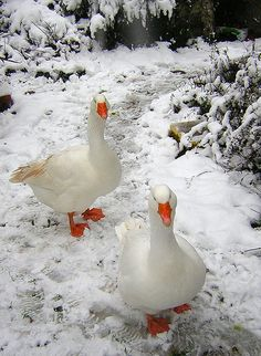 ♥ ~ ♥ Winter ♥ ~ ♥ Geese in the Snow. Love Birds, Beautiful Birds, Animals Beautiful, Farm Animals, Animals And Pets, Cute Animals, Snow Scenes, Winter Scenes, Tier Fotos