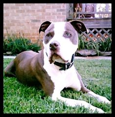 I can't wait to get a pitbull when I move out. I want to show how these dogs are loving and caring, and not aggressive. They are trained to be aggressive by owners who shouldn't own one. I can't wait to get one.