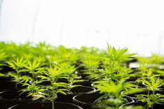 In this post, I'll be covering hemp and its legality in the United States and the United Kingdom. Hemp can often go mixed up as cannabis, and these plants Cannabis Plant, Indoor Greenhouse, Greenhouse Growing, Drug Test, Holistic Healing, Hemp Oil, Farmer, Remedies