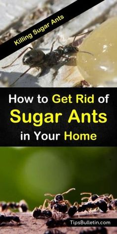 Killing sugar ants – Sugar ants – Ants – Kill ants – Ant repellent – Ants in house – Learn how - vesna. Deep Cleaning Tips, House Cleaning Tips, Cleaning Hacks, Cleaning Recipes, Cleaning Supplies, Killing Sugar Ants, Ant Spray, Ants In House, Ant Problem