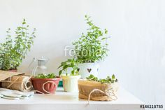 "Download the royalty-free photo ""Spring gardening light concept. Fresh basil in pot on a white table. Seedling in the pots, hank of rope, gardening tools and white wall background."" created by Victoria Kondysenko at the lowest price on Fotolia.com. Browse our cheap image bank online to find the perfect stock photo for your marketing projects!"