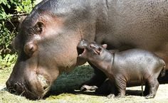baby hippo and his mom