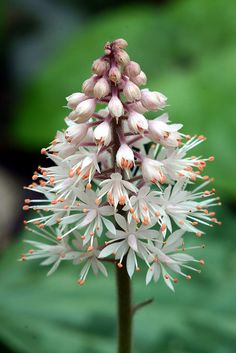 Foamflower (Tiarella cordifolia) Partial or deep shade Fast growing Potentially invasive Fully hardy Under planting hedges