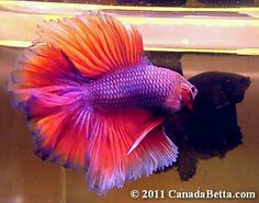 Purple Betta Fish   ... Purple Butterfly HM Doubletail Betta CB01-2011 - Ended…