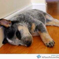 Australian Cattle Dog puppy  CUTE!!