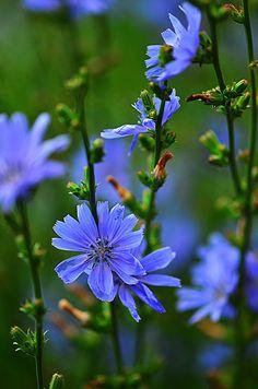 Chicory - cicoria selvatica. Fioritura estate-autunno. Le prime foglie sono ottime crude in  insalata (primavera) oppure si usano cotte per zuppe e frittate
