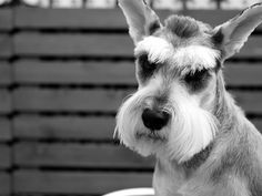 Miniature Schnauzer by Quentin Yeong
